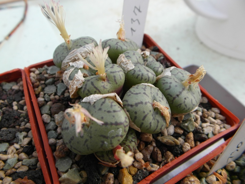 Cacti and Sukkulent in Köln, every day new flowers in the greenhouse Part 88 Bild2448