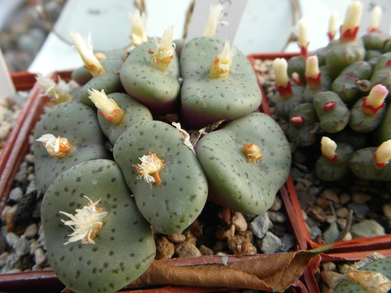 Cacti and Sukkulent in Köln, every day new flowers in the greenhouse Part 88 Bild2449