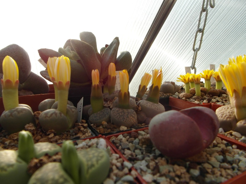 Cacti and Sukkulent in Köln, every day new flowers in the greenhouse Part 88 Bild2450