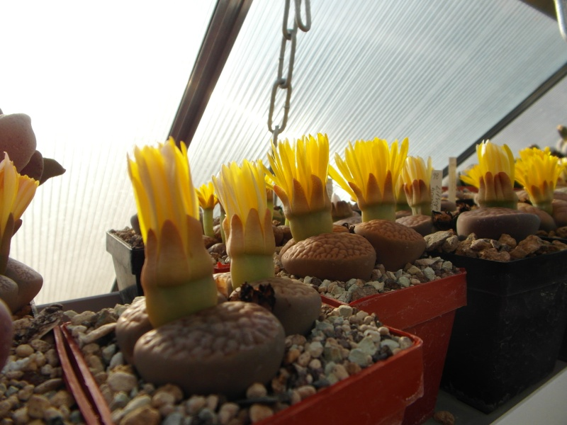 Cacti and Sukkulent in Köln, every day new flowers in the greenhouse Part 88 Bild2451