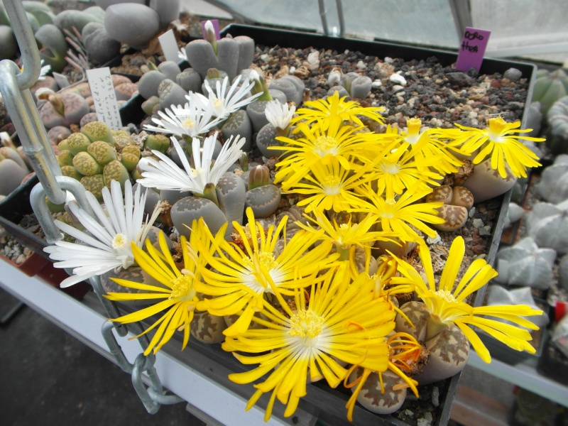 Cacti and Sukkulent in Köln, every day new flowers in the greenhouse Part 88 Bild2464