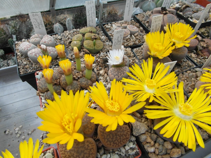 Cacti and Sukkulent in Köln, every day new flowers in the greenhouse Part 88 Bild2467