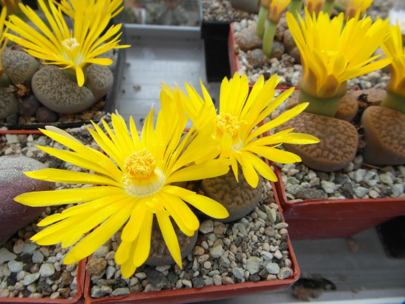 Cacti and Sukkulent in Köln, every day new flowers in the greenhouse Part 88 Bild2468