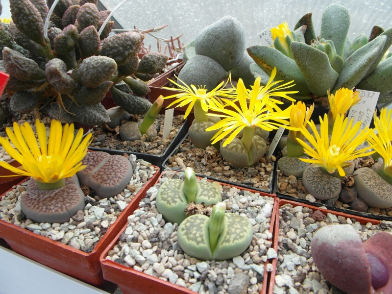 Cacti and Sukkulent in Köln, every day new flowers in the greenhouse Part 88 Bild2469