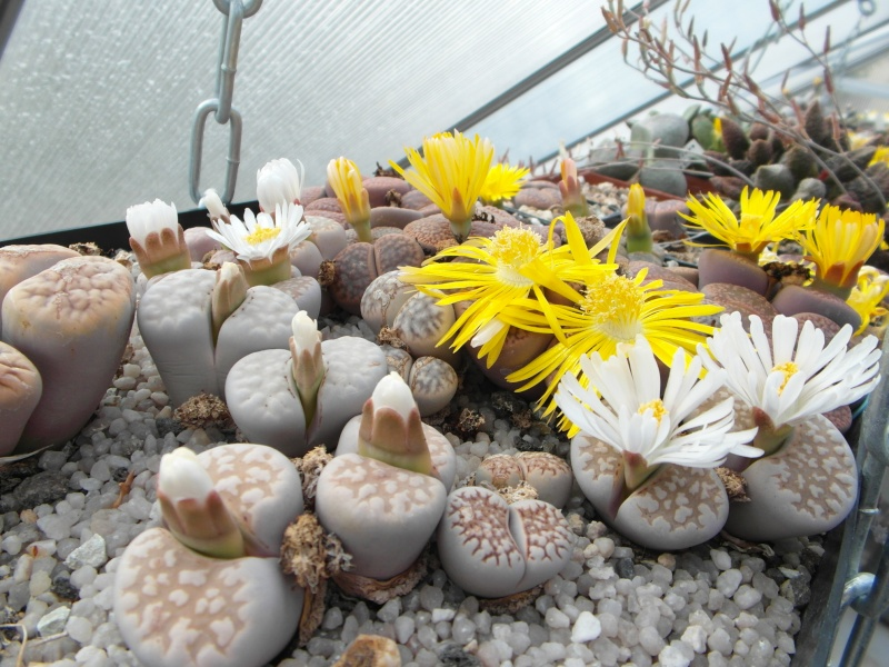 Cacti and Sukkulent in Köln, every day new flowers in the greenhouse Part 88 Bild2470