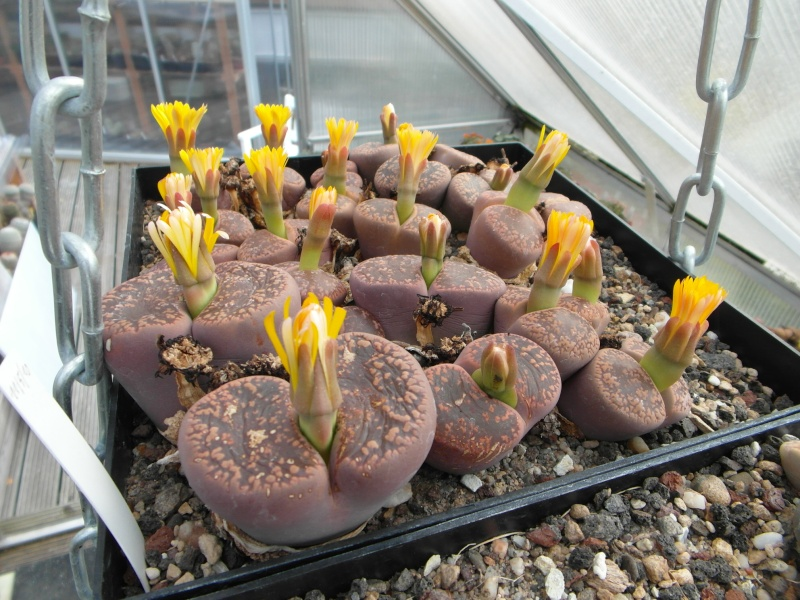 Cacti and Sukkulent in Köln, every day new flowers in the greenhouse Part 88 Bild2472