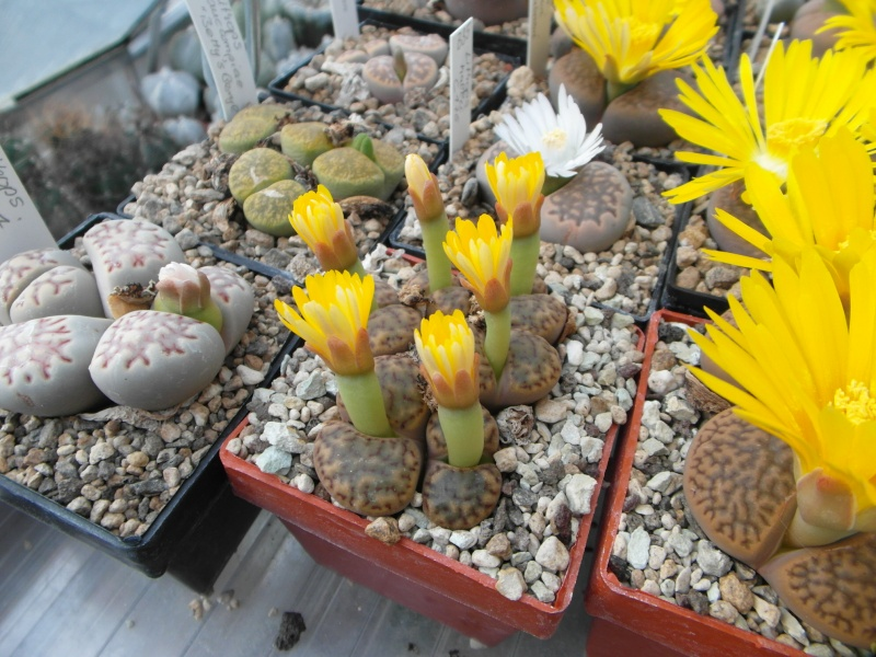 Cacti and Sukkulent in Köln, every day new flowers in the greenhouse Part 88 Bild2473