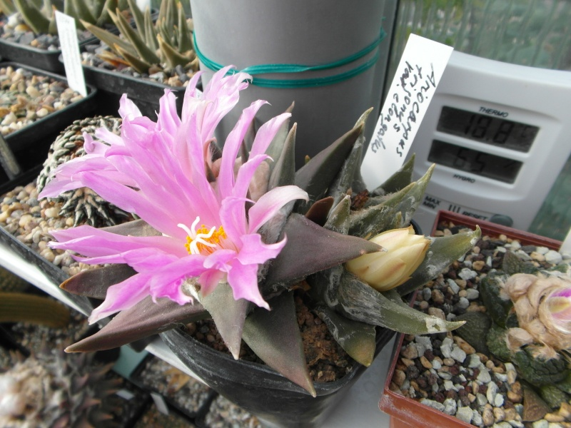 Cacti and Sukkulent in Köln, every day new flowers in the greenhouse Part 89 Bild2475