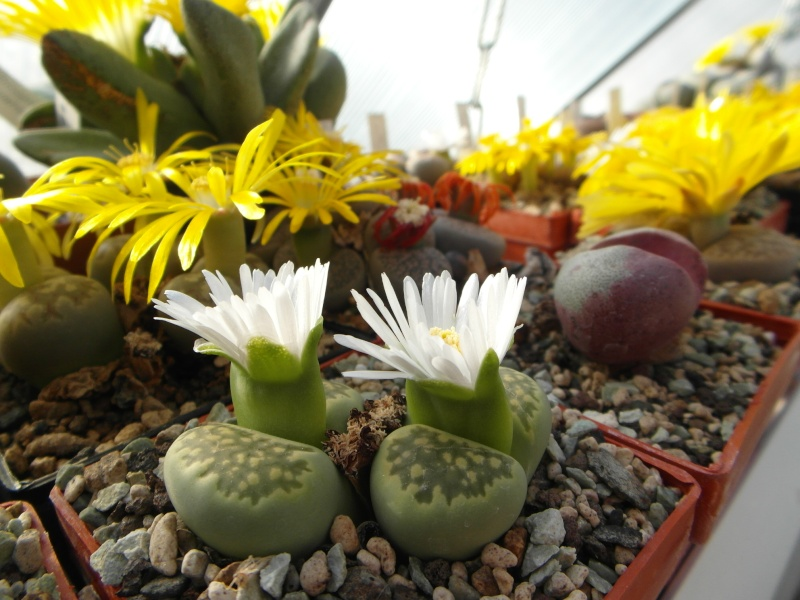 Cacti and Sukkulent in Köln, every day new flowers in the greenhouse Part 89 Bild2499