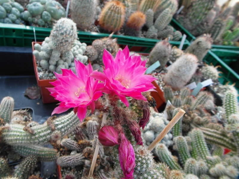 Cacti and Sukkulent in Köln, every day new flowers in the greenhouse Part 89 Bild2503