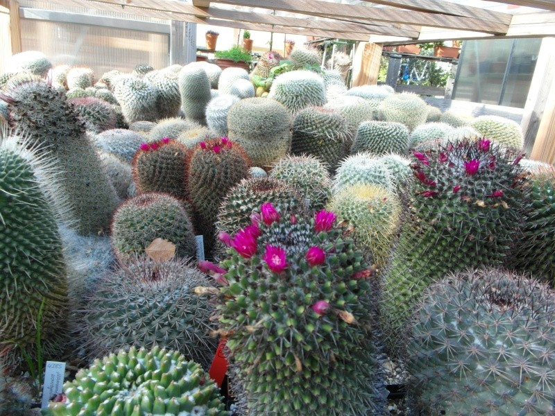 Cacti and Sukkulent in Köln, every day new flowers in the greenhouse Part 89 Bild2504