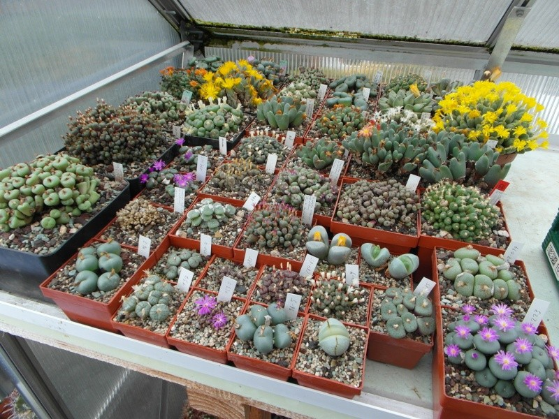 Cacti and Sukkulent in Köln, every day new flowers in the greenhouse Part 89 Bild2507