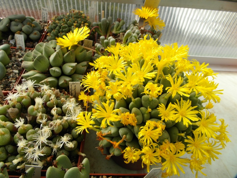 Cacti and Sukkulent in Köln, every day new flowers in the greenhouse Part 89 Bild2508