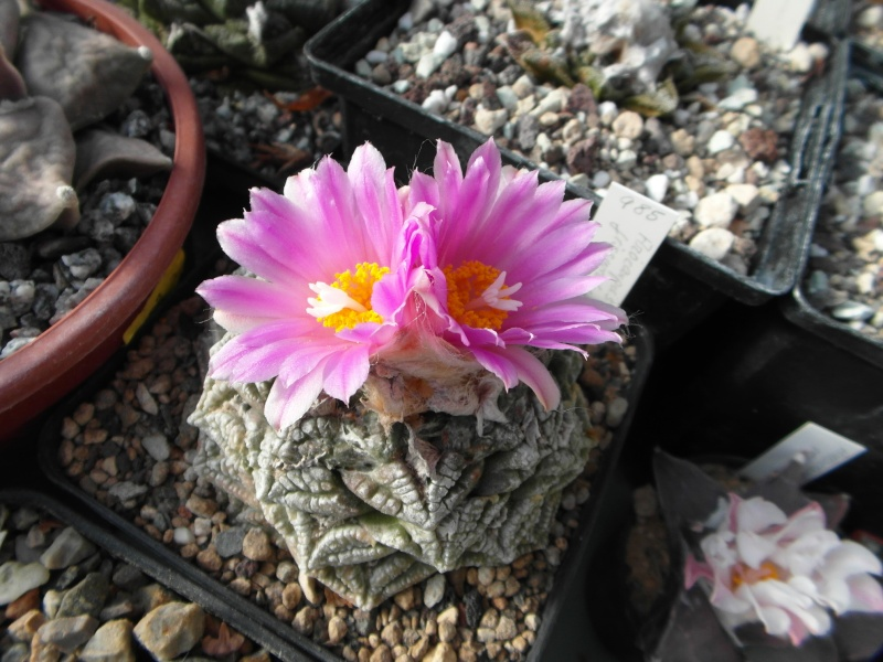 Cacti and Sukkulent in Köln, every day new flowers in the greenhouse Part 89 Bild2519