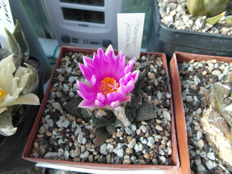 Cacti and Sukkulent in Köln, every day new flowers in the greenhouse Part 89 Bild2522