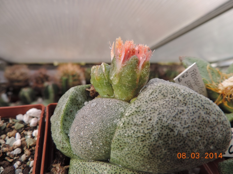 Cacti and Sukkulent in Köln, every day new flowers in the greenhouse Part 89 Bild2540