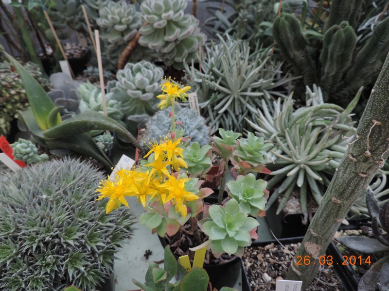 Cacti and Sukkulent in Köln, every day new flowers in the greenhouse Part 89 Bild2552
