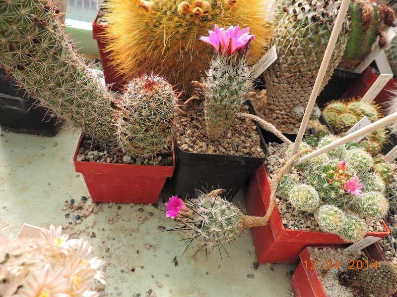Cacti and Sukkulent in Köln, every day new flowers in the greenhouse Part 90 Bild2659