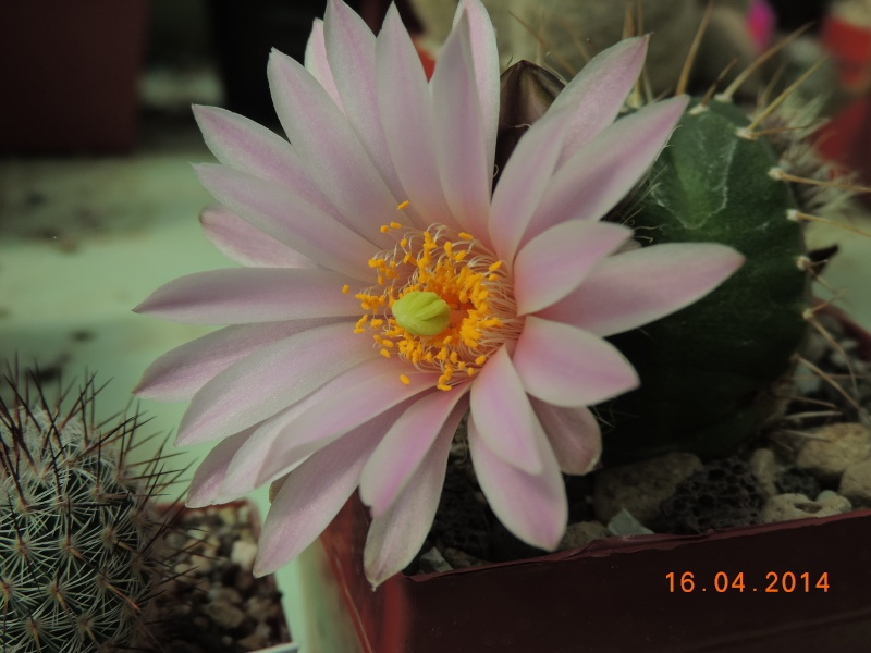 Cacti and Sukkulent in Köln, every day new flowers in the greenhouse Part 91 Bild2667