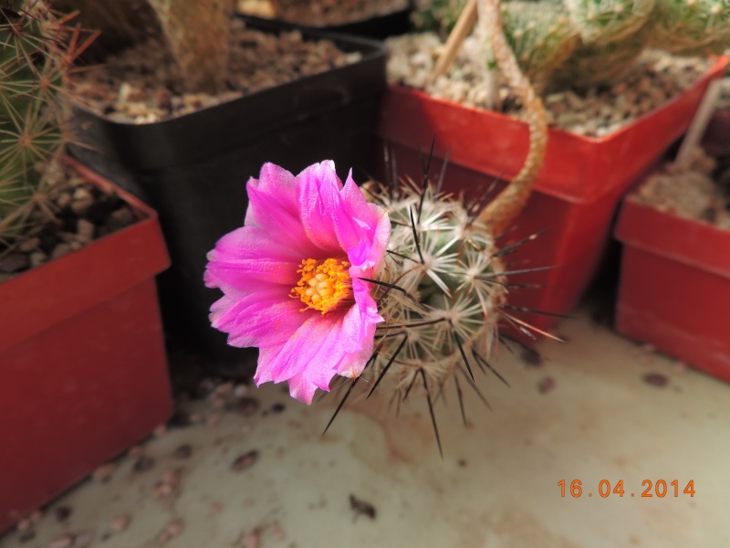 Cacti and Sukkulent in Köln, every day new flowers in the greenhouse Part 91 Bild2669