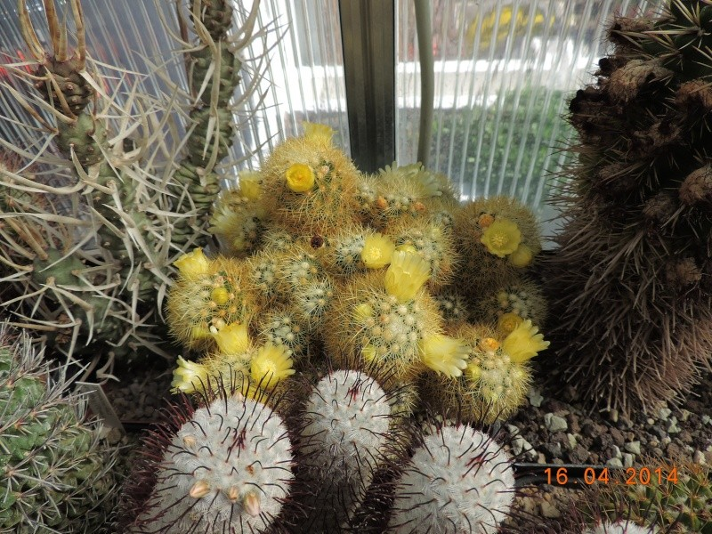 Cacti and Sukkulent in Köln, every day new flowers in the greenhouse Part 91 Bild2671
