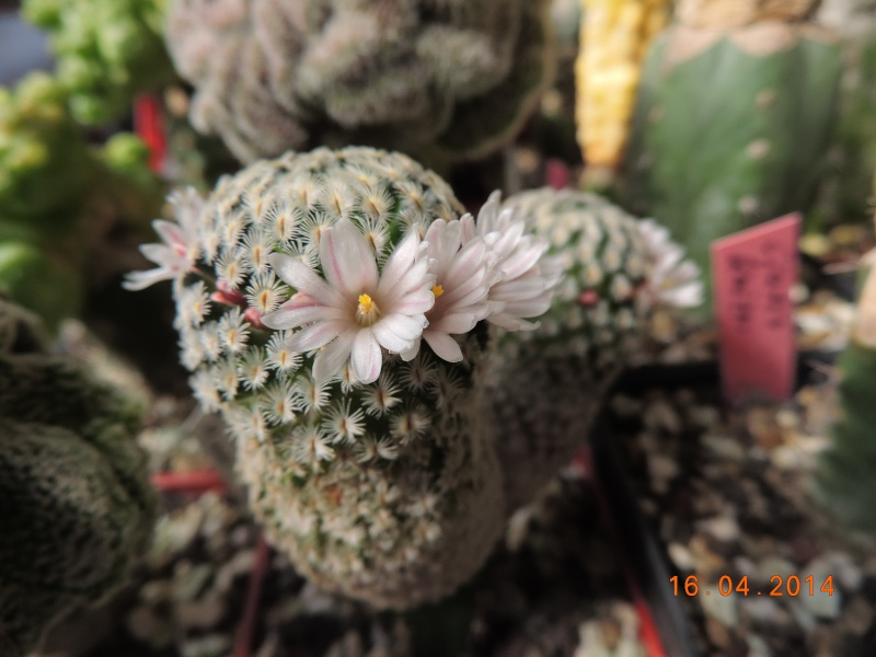 Cacti and Sukkulent in Köln, every day new flowers in the greenhouse Part 91 Bild2676