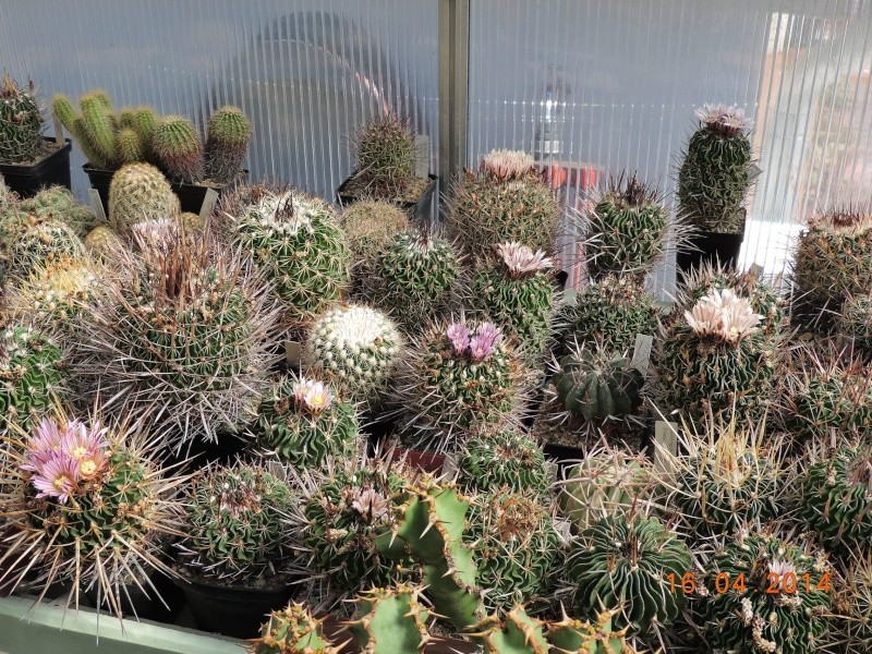 Cacti and Sukkulent in Köln, every day new flowers in the greenhouse Part 91 Bild2681