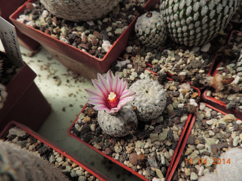 Cacti and Sukkulent in Köln, every day new flowers in the greenhouse Part 91 Bild2683
