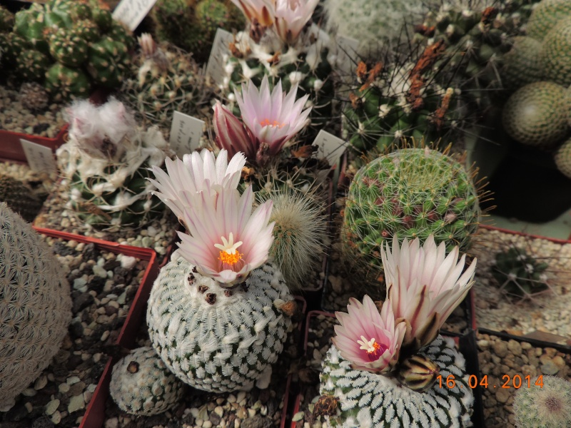 Cacti and Sukkulent in Köln, every day new flowers in the greenhouse Part 91 Bild2684