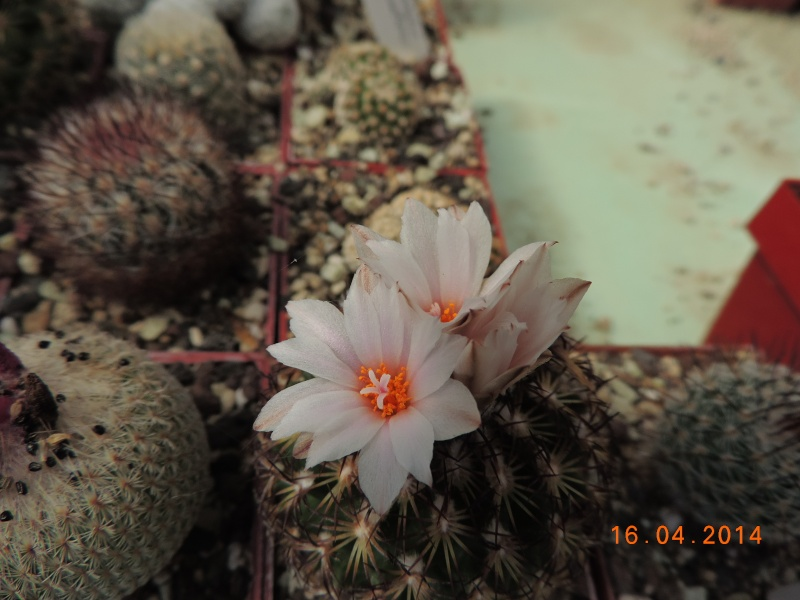 Cacti and Sukkulent in Köln, every day new flowers in the greenhouse Part 91 Bild2685