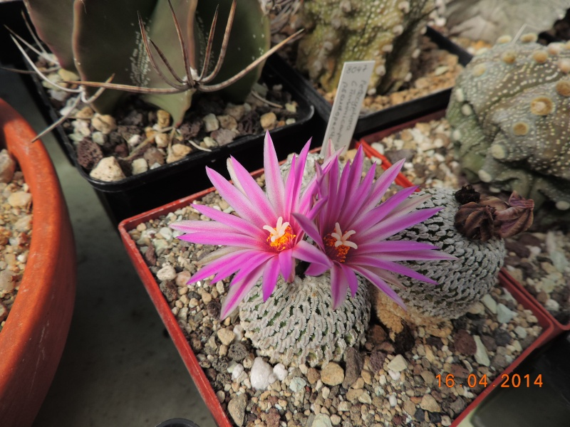 Cacti and Sukkulent in Köln, every day new flowers in the greenhouse Part 91 Bild2686