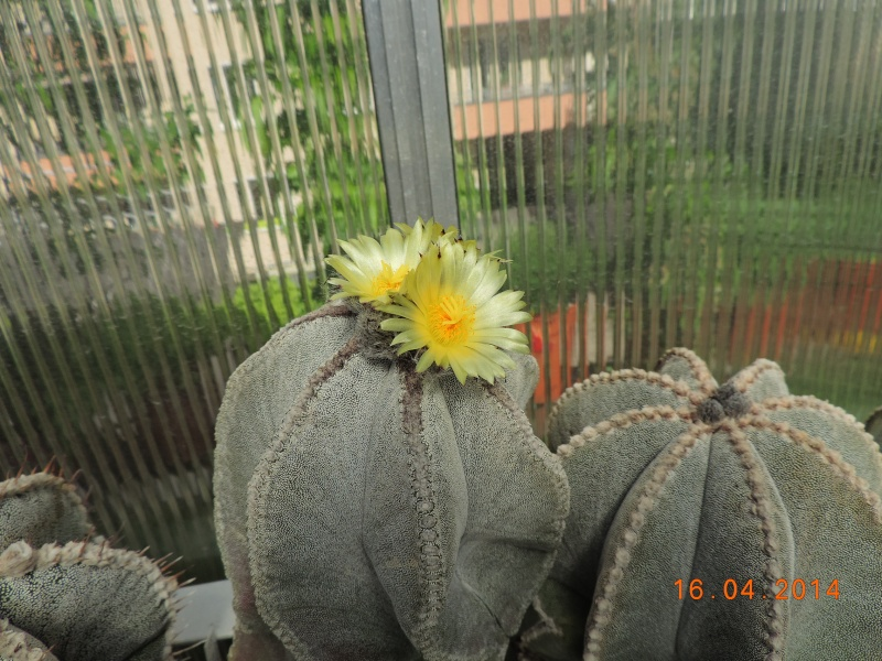 Cacti and Sukkulent in Köln, every day new flowers in the greenhouse Part 91 Bild2688