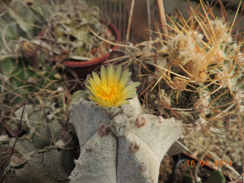 Cacti and Sukkulent in Köln, every day new flowers in the greenhouse Part 91 Bild2690