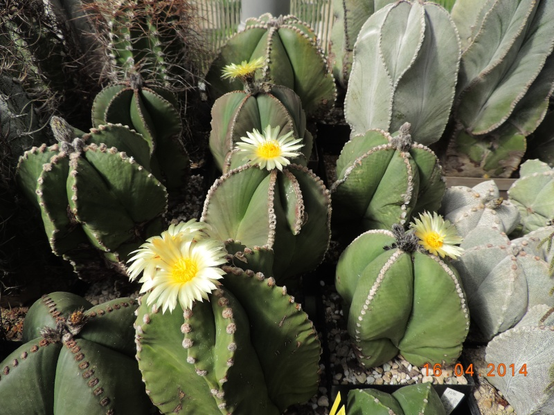 Cacti and Sukkulent in Köln, every day new flowers in the greenhouse Part 91 Bild2691