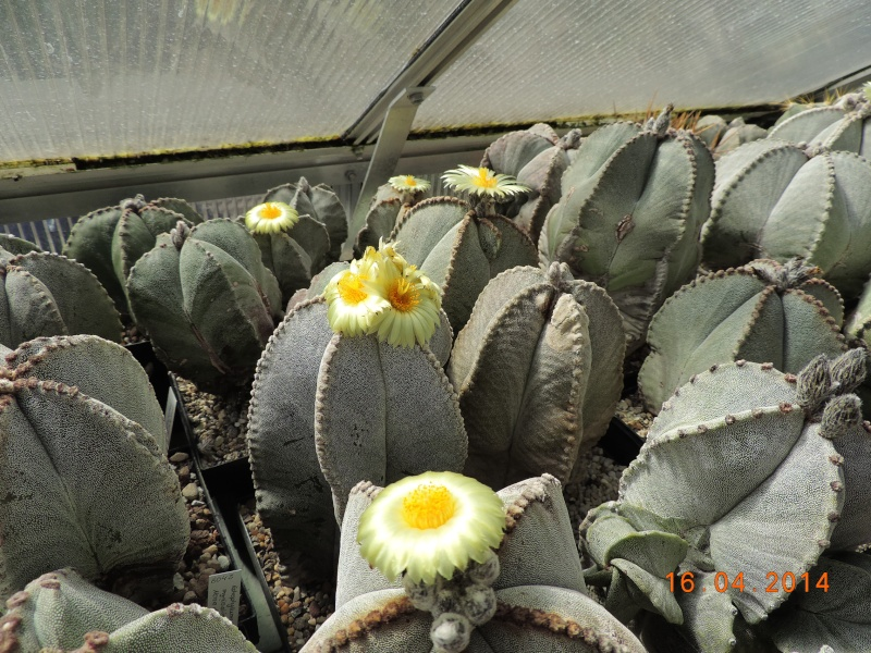 Cacti and Sukkulent in Köln, every day new flowers in the greenhouse Part 91 Bild2695