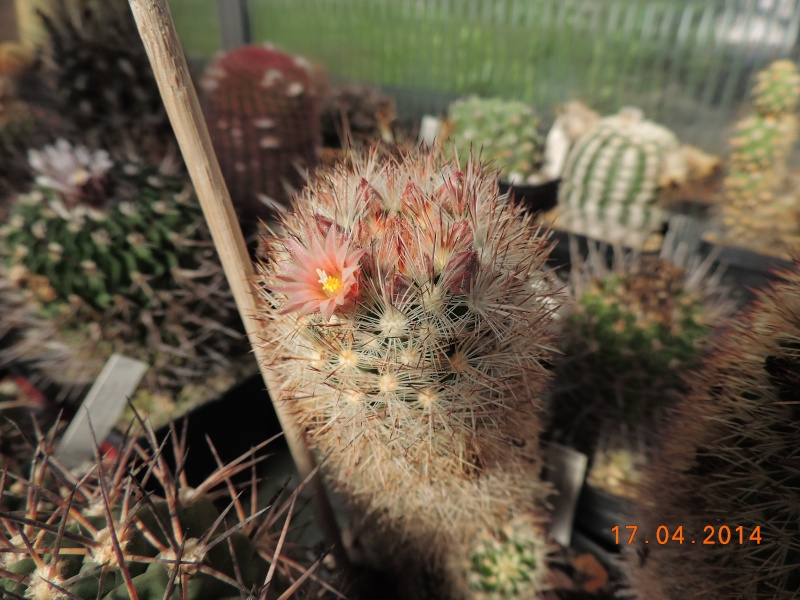 Cacti and Sukkulent in Köln, every day new flowers in the greenhouse Part 91 Bild2712