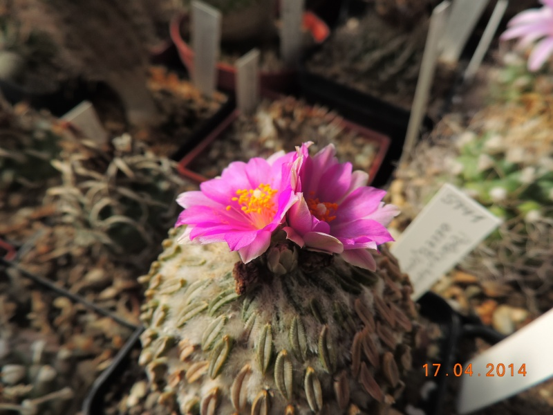 Cacti and Sukkulent in Köln, every day new flowers in the greenhouse Part 91 Bild2714