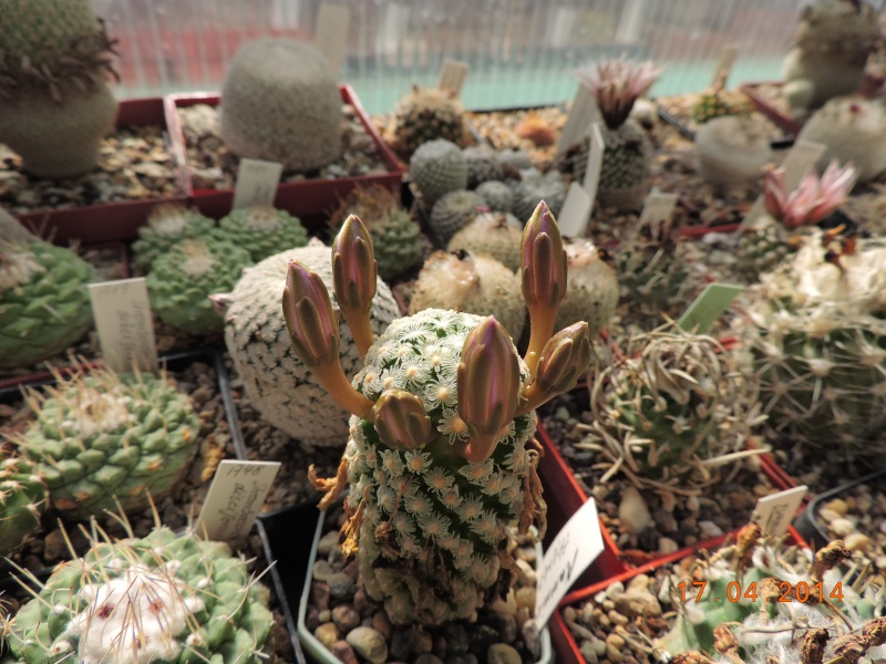 Cacti and Sukkulent in Köln, every day new flowers in the greenhouse Part 91 Bild2715