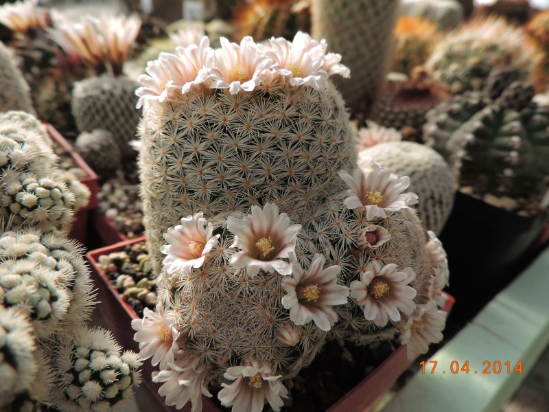 Cacti and Sukkulent in Köln, every day new flowers in the greenhouse Part 91 Bild2720