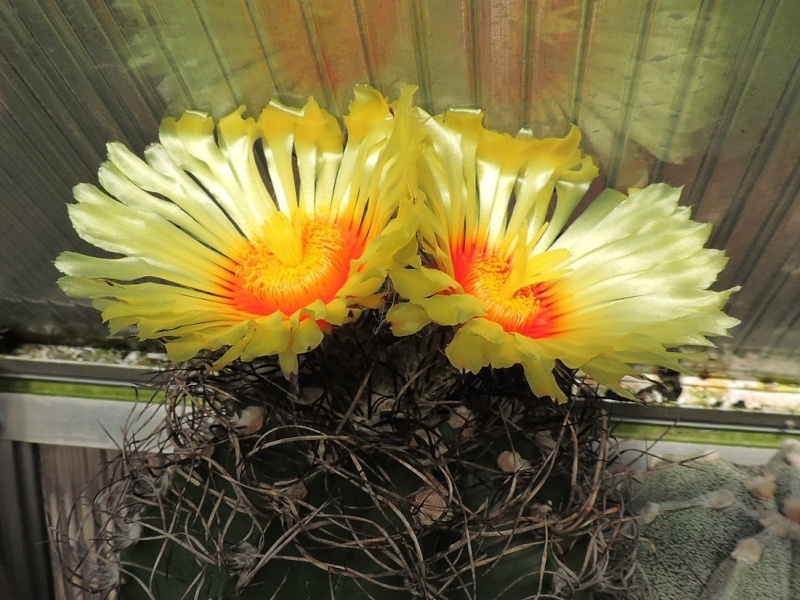 Cacti and Sukkulent in Köln, every day new flowers in the greenhouse Part 91 Bild2723