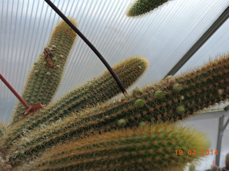 Cacti and Sukkulent in Köln, every day new flowers in the greenhouse Part 92 Bild2731