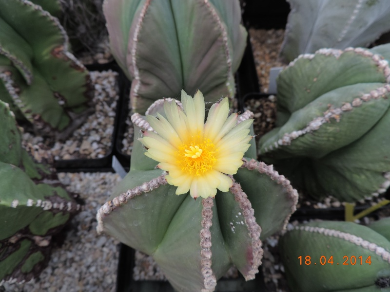 Cacti and Sukkulent in Köln, every day new flowers in the greenhouse Part 92 Bild2736