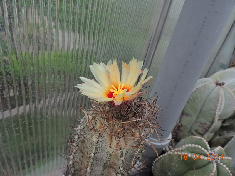 Cacti and Sukkulent in Köln, every day new flowers in the greenhouse Part 92 Bild2737