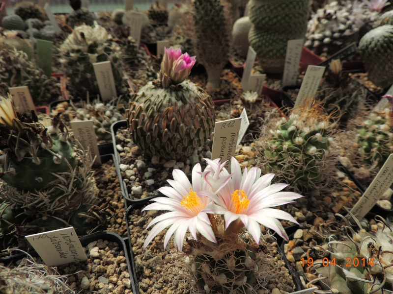 Cacti and Sukkulent in Köln, every day new flowers in the greenhouse Part 92 Bild2754