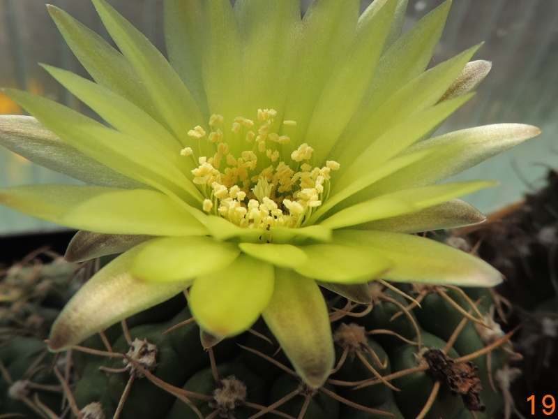 Cacti and Sukkulent in Köln, every day new flowers in the greenhouse Part 92 Bild2755