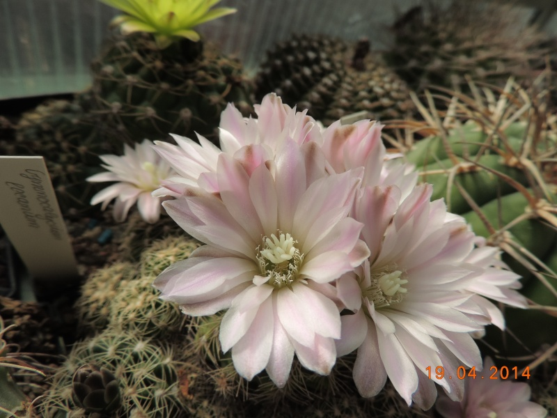 Cacti and Sukkulent in Köln, every day new flowers in the greenhouse Part 92 Bild2756