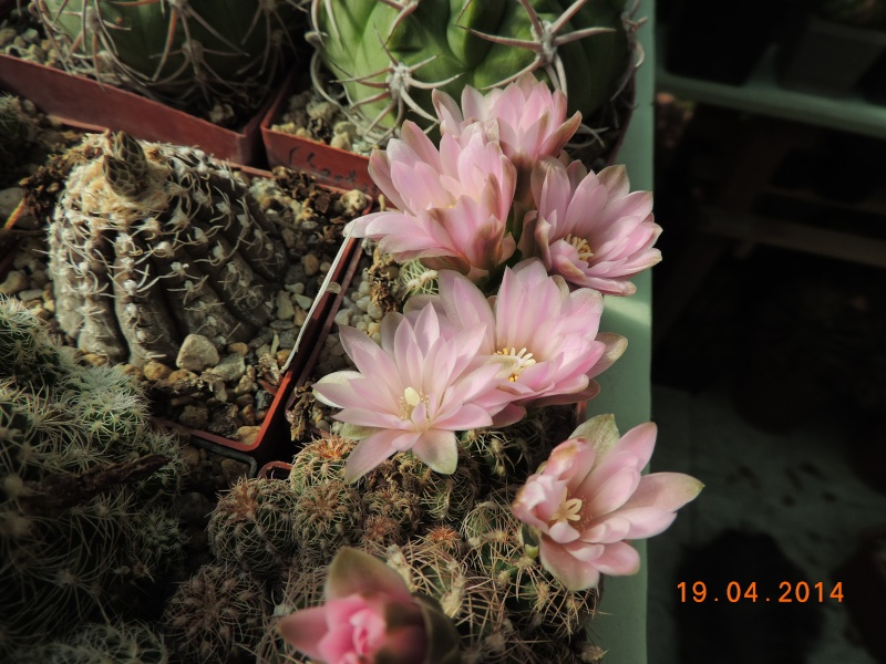 Cacti and Sukkulent in Köln, every day new flowers in the greenhouse Part 92 Bild2757
