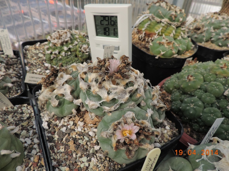 Cacti and Sukkulent in Köln, every day new flowers in the greenhouse Part 92 Bild2765
