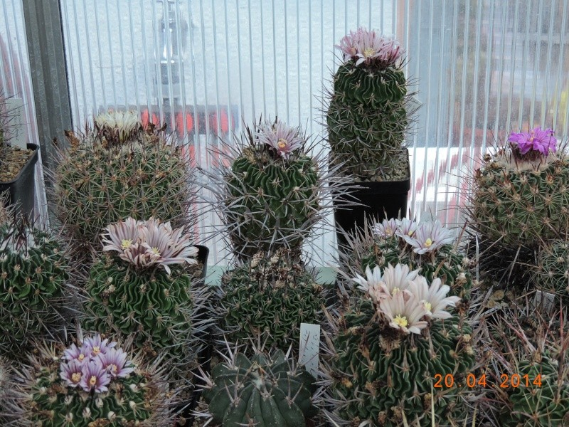 Cacti and Sukkulent in Köln, every day new flowers in the greenhouse Part 92 Bild2773