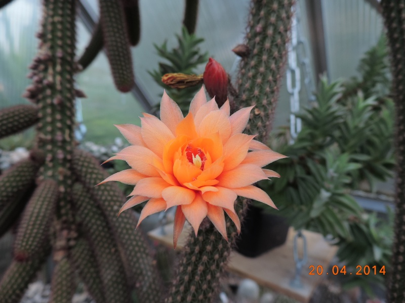 Cacti and Sukkulent in Köln, every day new flowers in the greenhouse Part 92 Bild2775